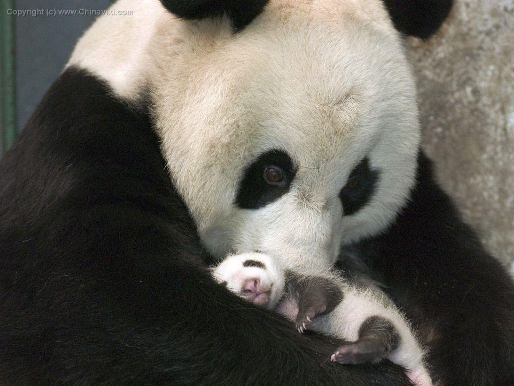 パンダと乳児パンダ-写真-旅情中国