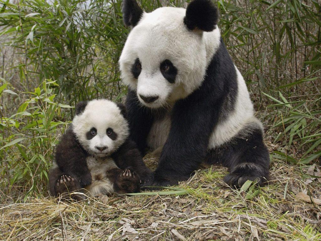 親子パンダ-写真-旅情中国