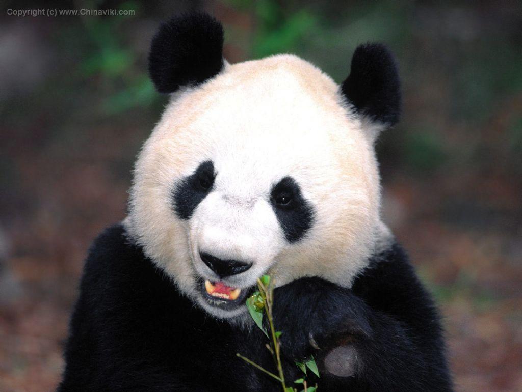 パンダ-写真-旅情中国
