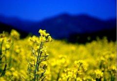 羅平の菜の花畑