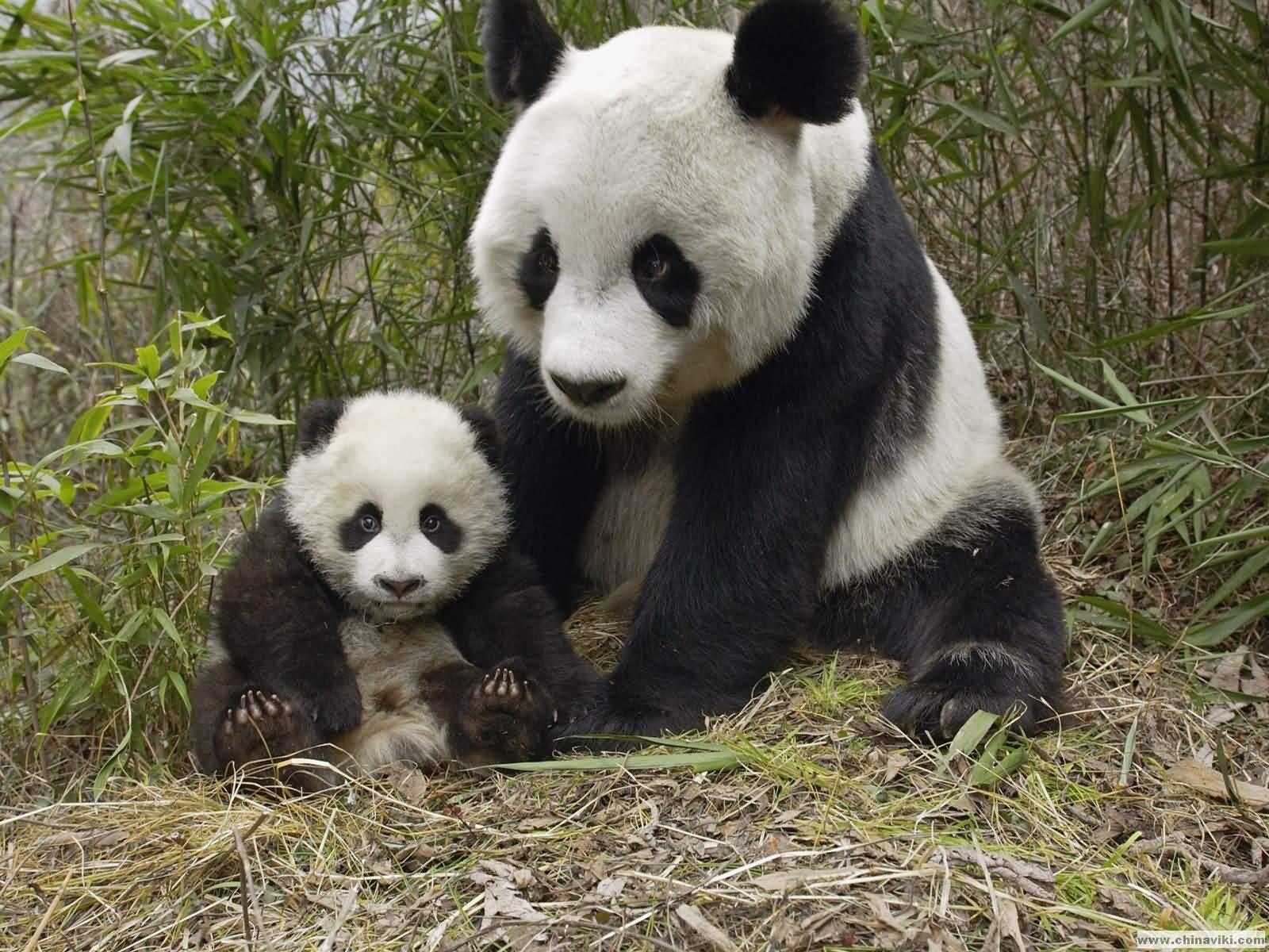 ジャイアントパンダの画像 p1_34