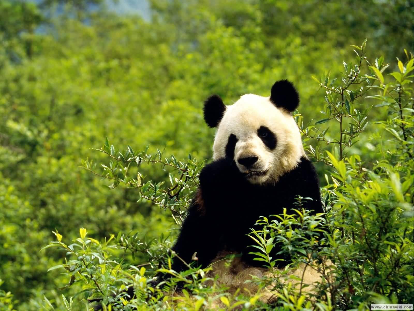 ジャイアントパンダの画像 p1_35