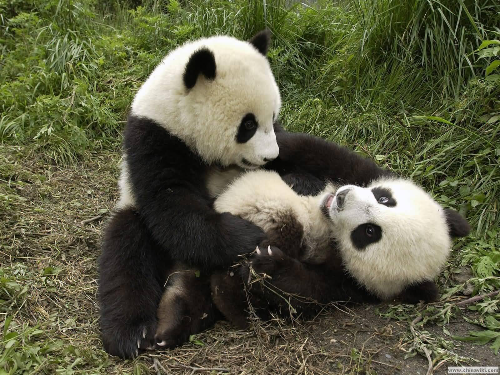 ジャイアントパンダの画像 p1_33